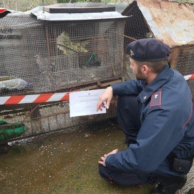 Denunciato nel cosentino un uomo per furto venatorio, deteneva illegalmente dei corvidi in seguito liberati