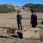 Capriolo investito e subito soccorso, curato e rimesso in libertà nel Parco Nazionale del Pollino