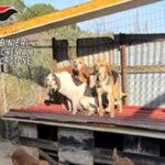 Crotone, scoperto allevamento di cani illegale in una struttura abusiva: denunciato 67enne