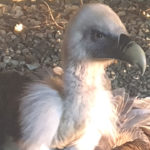 La Polizia Provinciale recupera un maestoso avvoltoio Grifone a Cirella
