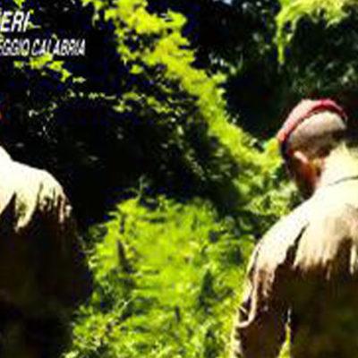 Scovate dai carabinieri oltre 12 mila piante di marijuana, arrestate 10 persone e denunciata una