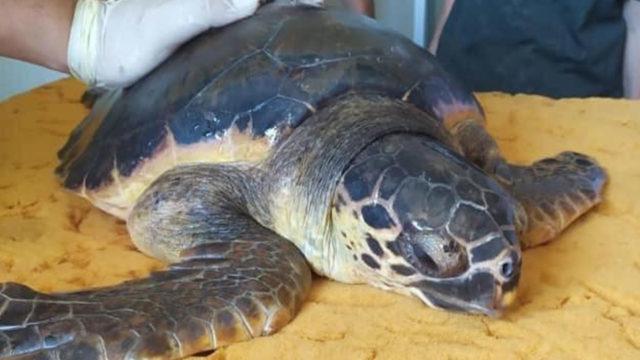 """Crotone, è tornata a nuotare in mare aperto la tartaruga """"Caretta caretta"""" soccorsa dal Club Velico"""